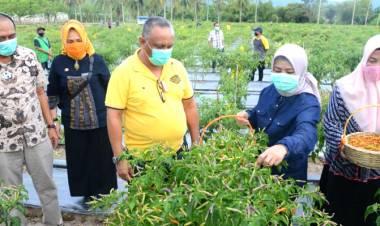 Panen Cabai Bersama Gubernur Gorontalo